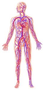 Human circolatory system